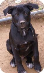 Labrador Retriever/Husky Mix Dog for adoption in Oakland, Arkansas - Ned