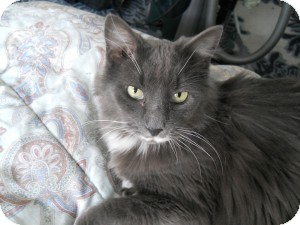 Domestic Mediumhair Cat for adoption in Medford, Massachusetts - Billy