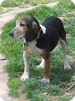 Beagle Dog for adoption in Waldorf, Maryland - Edward Ridgely