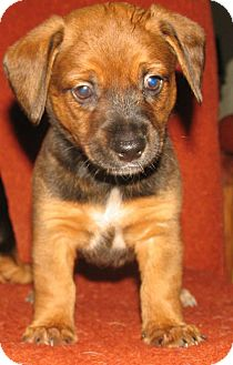 Dachshund Mix Puppy for adoption in Hancock, Michigan - Rob