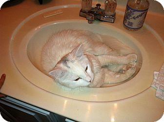 Norwegian Forest Cat Cat for adoption in Scottsdale, Arizona - Angel