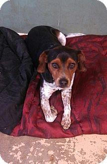 Beagle/Blue Heeler Mix Dog for adoption in Arkadelphia, Arkansas - Kyle