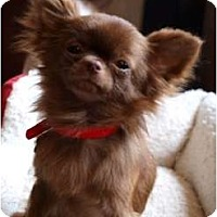Adopt A Pet :: Noelle - very tiny - Toronto/Etobicoke/GTA, ON