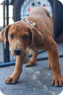 Plott Hound/Australian Shepherd Mix Puppy for adoption in Auburn, California - Dirty Hairy