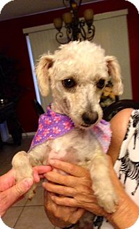 Poodle (Miniature) Mix Dog for adoption in Brownsville, Texas - Camila