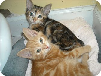 Polydactyl/Hemingway Kitten for adoption in Arlington, Virginia - Ginger & Zee