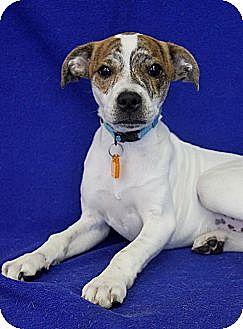 Terrier (Unknown Type, Medium) Mix Dog for adoption in Wichita, Kansas - Jacob