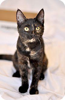 Domestic Shorthair Kitten for adoption in Wilmington, Delaware - Anna