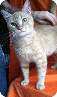 Domestic Shorthair Cat for adoption in Hillside, Illinois - DeeDee