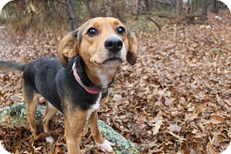 Foxhound Mix Dog for adoption in Waldorf, Maryland - Sheeba