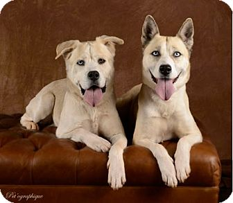 Siberian Husky Mix Dog for adoption in Las Vegas, Nevada - Bailey