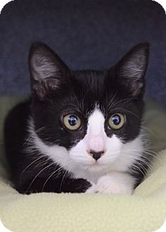 Domestic Shorthair Kitten for adoption in Dublin, California - Elle Macfurrson