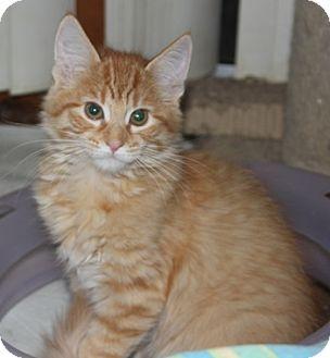 Domestic Mediumhair Kitten for adoption in North Highlands, California - R2D2