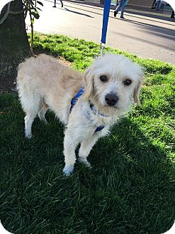 Maltese/Terrier (Unknown Type, Small) Mix Dog for adoption in Carlsbad, California - Max
