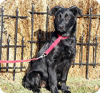 Flat-Coated Retriever/Labrador Retriever Mix Puppy for adoption in Marietta, Ohio - Harper