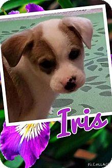 Labrador Retriever Mix Puppy for adoption in House Springs, Missouri - iris