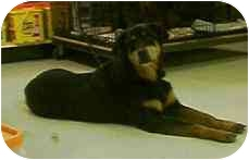Rottweiler Mix Dog for adoption in Provo, Utah - MYSTERY