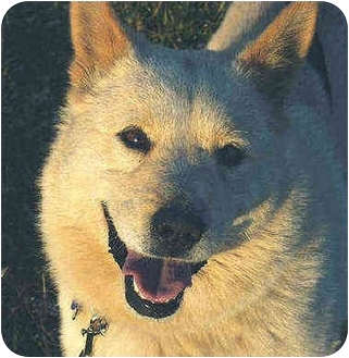 Jindo/Shiba Inu Mix Puppy for adoption in Southern California, California - Blondie