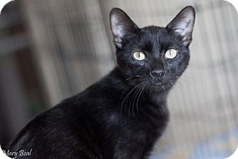 Domestic Shorthair Kitten for adoption in Prescott, Arizona - Ava