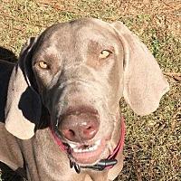 Adopt A Pet :: Layla - Birmingham, AL