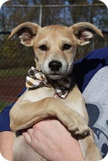 Terrier (Unknown Type, Medium) Mix Puppy for adoption in East Hartford, Connecticut - Larry in CT