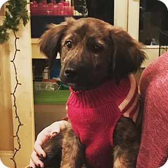 Labrador Retriever/Australian Shepherd Mix Puppy for adoption in Sagaponack, New York - Tyler
