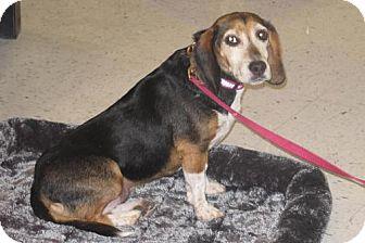 Beagle Dog for adoption in Palatine/Kildeer/Buffalo Grove, Illinois - Peggy Sue