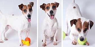 Jack Russell Terrier Mix Dog for adoption in Chicago, Illinois - Rusty