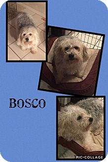 Terrier (Unknown Type, Small)/Jack Russell Terrier Mix Dog for adoption in Scottsdale, Arizona - Bosco