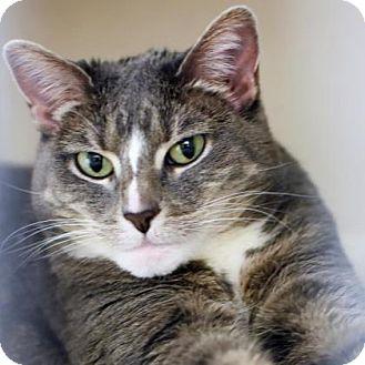 Domestic Shorthair Cat for adoption in Denver, Colorado - Colette