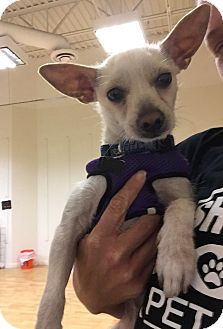Terrier (Unknown Type, Small) Mix Dog for adoption in Valencia, California - Casper