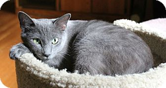 Domestic Shorthair Cat for adoption in Knoxville, Tennessee - Charity