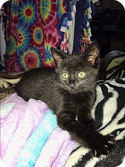 Bombay Kitten for adoption in Mission Viejo, California - Misty and Shadow