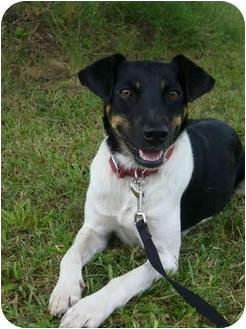 Rat Terrier Mix Dog for adoption in Portsmouth, Rhode Island - Razz