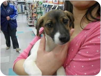 Jack Russell Terrier Puppy for adoption in Lonedell, Missouri - Brenda