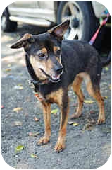 Terrier (Unknown Type, Small)/Spitz (Unknown Type, Small) Mix Dog for adoption in Duncan, British Columbia - Lucia