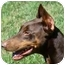 Photo 2 - Doberman Pinscher Dog for adoption in Arlington, Virginia - Austin