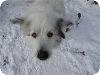 Great Pyrenees Dog for adoption in Minneapolis, Minnesota - Maggie