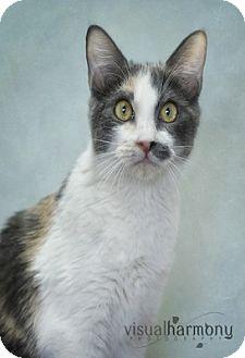 Calico Kitten for adoption in Phoenix, Arizona - Bijou