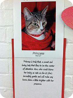 American Shorthair Cat for adoption in Whitestone, New York - Princess 2