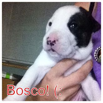 Labrador Retriever/German Shepherd Dog Mix Puppy for adoption in Torrance, California - BOSCO