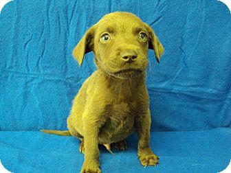 Labrador Retriever/Weimaraner Mix Puppy for adoption in BLACKWELL, Oklahoma - Brown Male 2