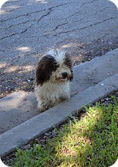 Maltese/Shih Tzu Mix Dog for adoption in Houston, Texas - Pierre
