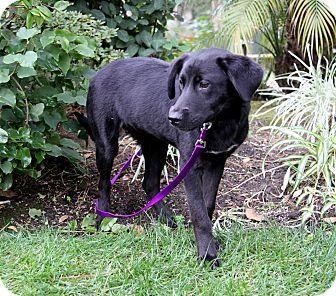 Labrador Retriever Mix Puppy for adoption in Newport Beach, California - FUDGE
