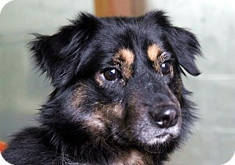 Sheltie, Shetland Sheepdog/Terrier (Unknown Type, Medium) Mix Dog for adoption in Plainfield, Illinois - Jackson