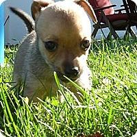 Adopt A Pet :: Chip - Burr Ridge, IL