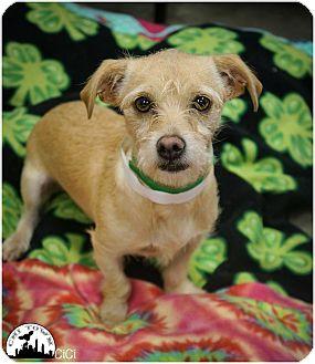 Parson Russell Terrier/Dachshund Mix Dog for adoption in Phoenix, Arizona - CiCi