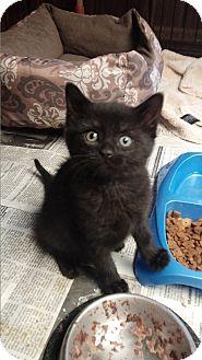 Domestic Shorthair Kitten for adoption in Media, Pennsylvania - Boo