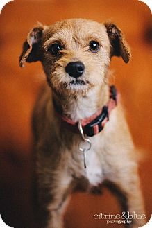 Fox Terrier (Wirehaired)/Irish Terrier Mix Dog for adoption in Portland, Oregon - Ginger