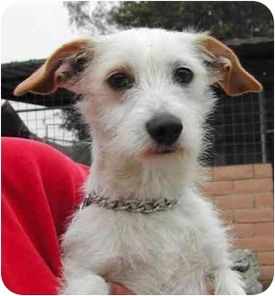 Jack Russell Terrier/Terrier (Unknown Type, Small) Mix Dog for adoption in El Segundo, California - Louie